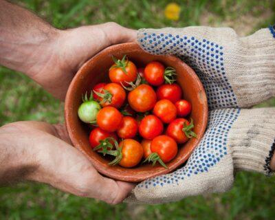tomaten delen
